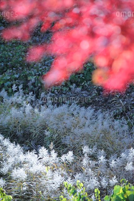ススキとモミジの写真素材 [FYI01521905]