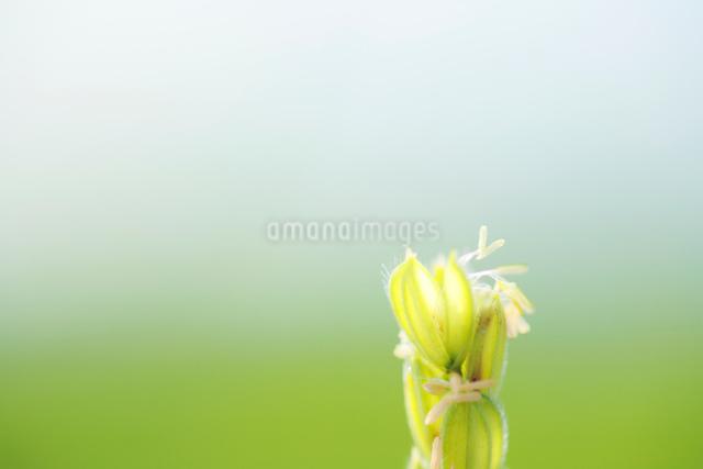 稲の花アップの写真素材 [FYI01521913]