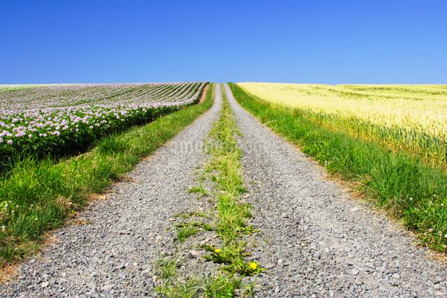 ジャガイモと小麦畑と道の写真素材 [FYI01521923]