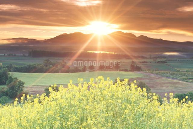 菜の花と大雪山と朝日の写真素材 [FYI01521936]