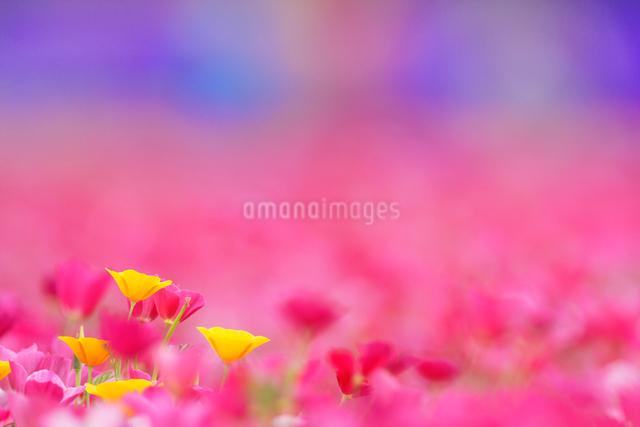 カリフォルニアポピーなど花畑の写真素材 [FYI01521941]