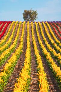 ケイトウなど花畑と木立の写真素材 [FYI01521948]
