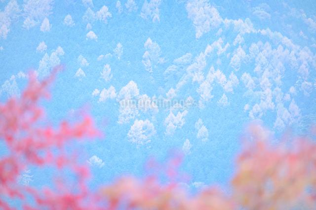モミジとカラマツ林の写真素材 [FYI01521979]