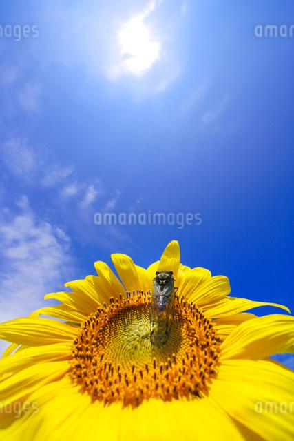 ヒマワリと太陽とセミの写真素材 [FYI01521980]