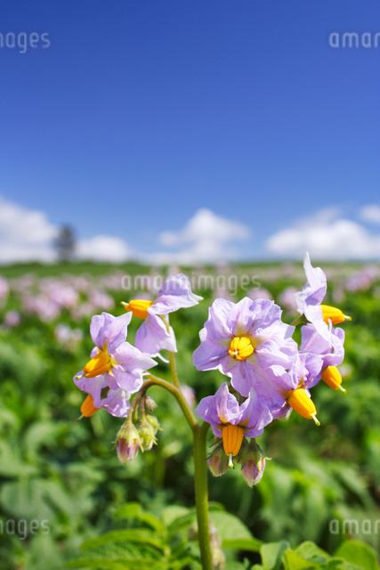 ジャガイモの花 男爵の写真素材 [FYI01521994]