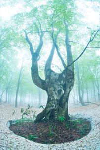 朝霧と新緑のブナ林と残雪の写真素材 [FYI01521998]