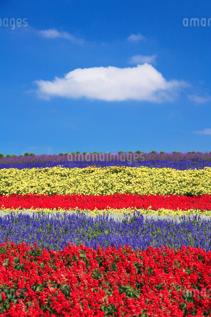 サルビアなど花畑とわた雲の写真素材 [FYI01522007]