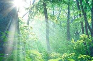 朝霧と新緑のブナ林と光芒の写真素材 [FYI01522014]