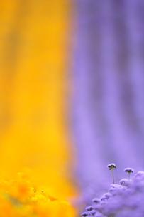 カリフォルニアポピーとアゲラタムの写真素材 [FYI01522035]