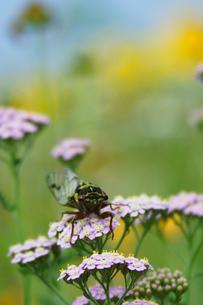 野花とセミの写真素材 [FYI01522091]