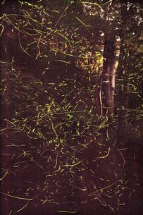 ホタルの光の写真素材 [FYI01522105]