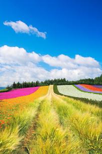 ビール麦とラベンダーなど花畑の写真素材 [FYI01522201]