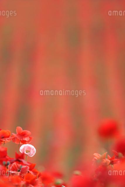 ポピー畑の写真素材 [FYI01522202]