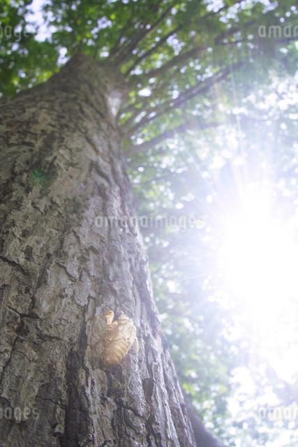エゾハルゼミの抜け殻と光芒とシナノキの写真素材 [FYI01522350]