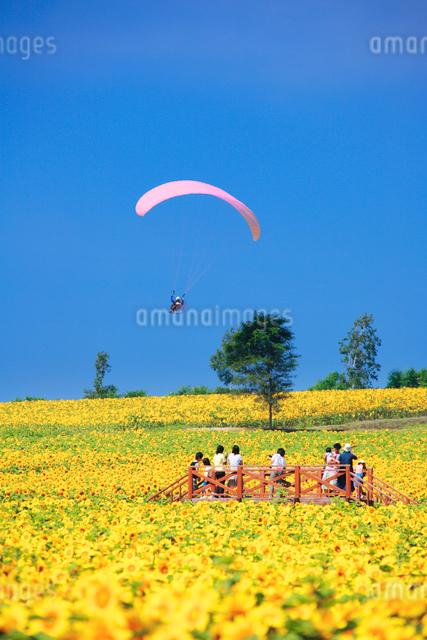 ヒマワリ畑とパラグライダーと観客の写真素材 [FYI01522386]