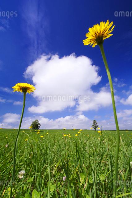 牧草地とタンポポと木立の写真素材 [FYI01522440]