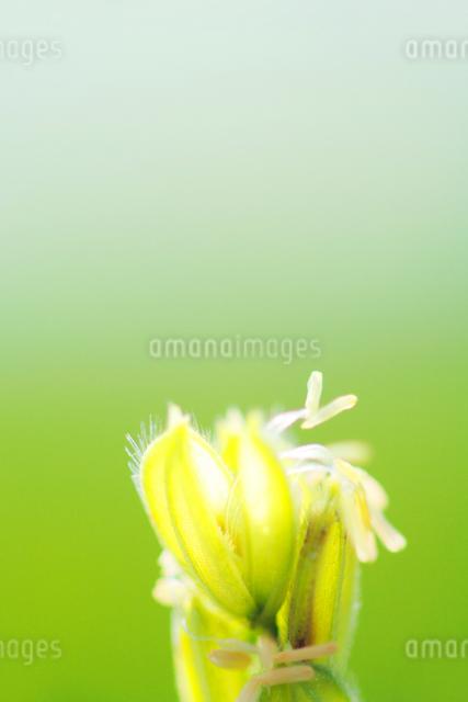 稲の花アップの写真素材 [FYI01522537]