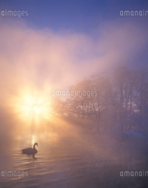 朝霧に包まれた釧路川に浮かぶ白鳥の写真素材 [FYI01522599]