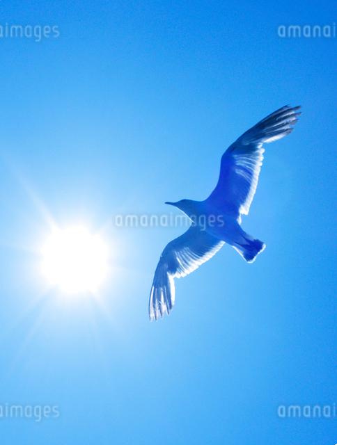 カモメと太陽の写真素材 [FYI01522638]