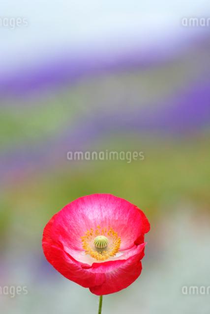 ポピーなど花畑の写真素材 [FYI01522642]