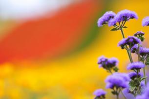 アゲラタムなど花畑の写真素材 [FYI01522656]