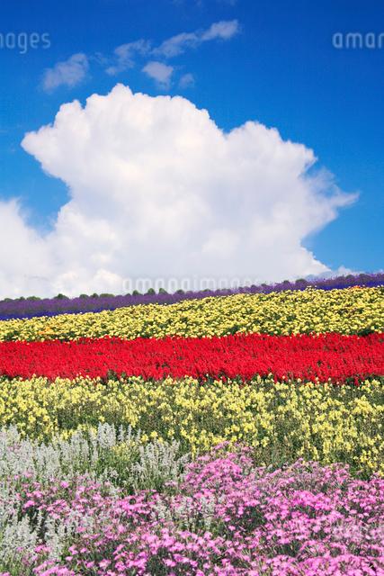 ローダンセなど花畑と入道雲の写真素材 [FYI01522673]