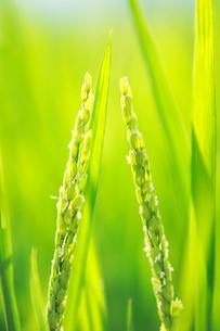 稲の花の写真素材 [FYI01522701]