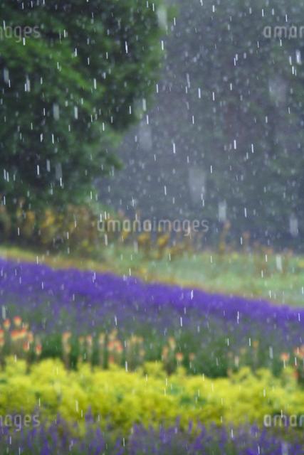 ラベンダーなど花畑に降る雨の写真素材 [FYI01522712]
