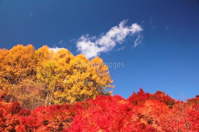 モミジ林とカラマツ林の写真素材 [FYI01522753]