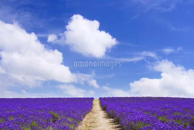 ラベンダー畑と遊歩道の写真素材 [FYI01522808]