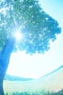 ミズナラの木漏れ日と牧草地の写真素材 [FYI01522812]
