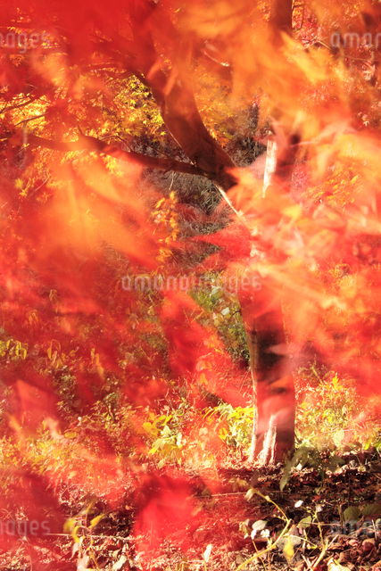 風に揺れるモミジの写真素材 [FYI01522934]