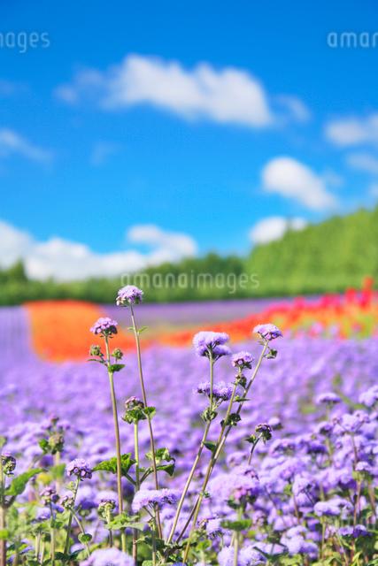アゲラタムなど花畑の写真素材 [FYI01523036]