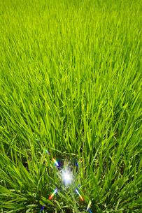稲の若苗と太陽の反射の写真素材 [FYI01523078]