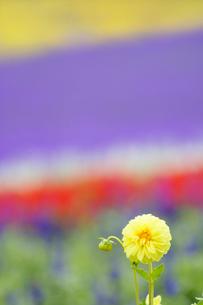ダリアなど花畑の写真素材 [FYI01523092]