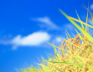 稲穂と青空の写真素材 [FYI01523107]