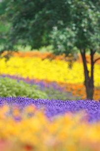 ラベンダーなど花畑の写真素材 [FYI01523128]