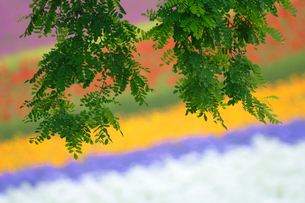 ニセアカシアと花畑の写真素材 [FYI01523161]