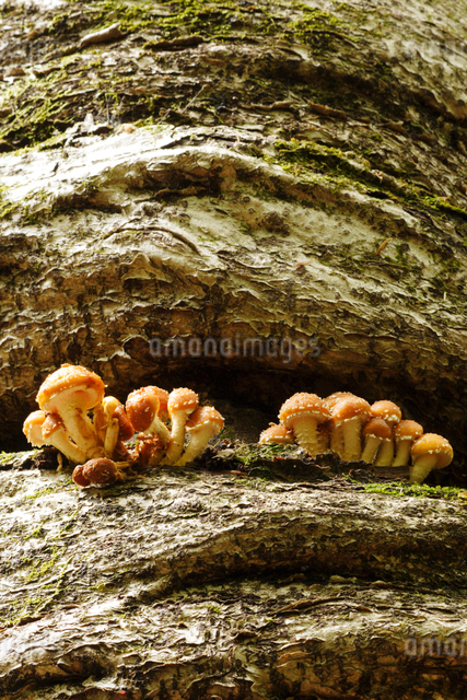 椎茸の幼菌の写真素材 [FYI01523192]