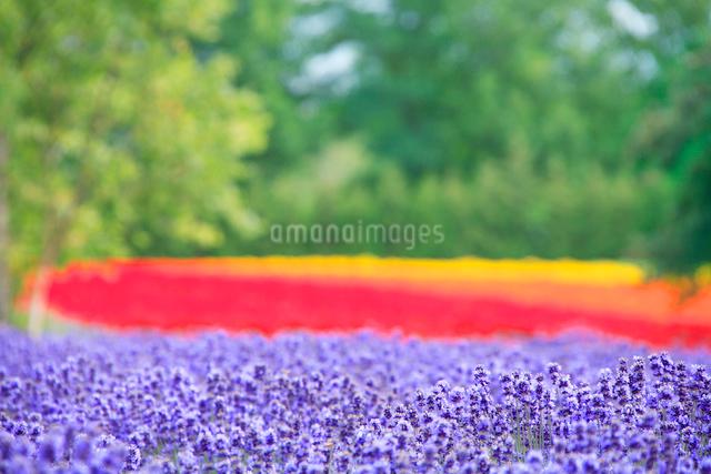 ラベンダーとマリーゴールドの花畑の写真素材 [FYI01523255]