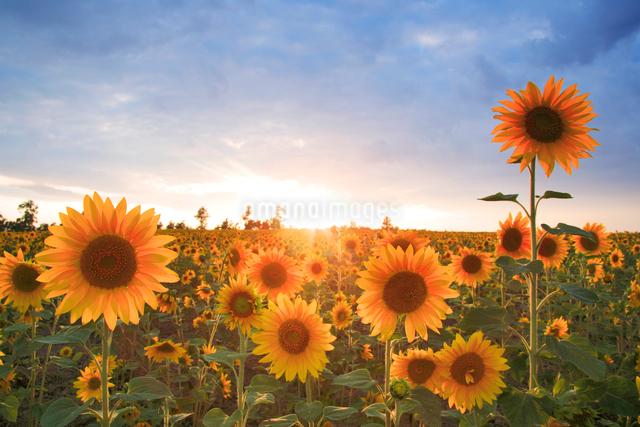 ヒマワリ畑と夕日の写真素材 [FYI01523273]