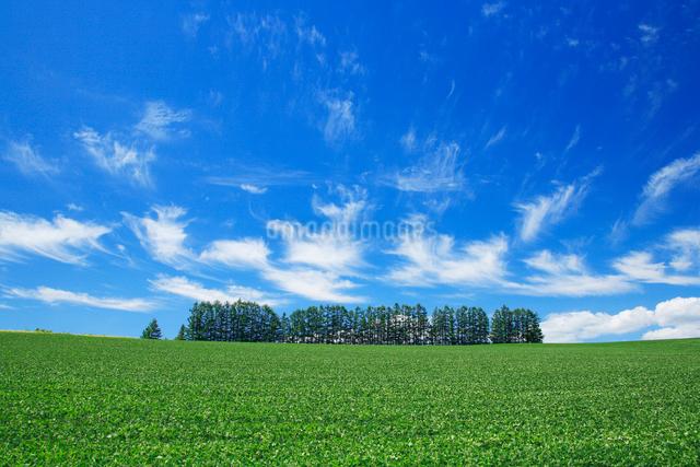 小豆畑とカラマツ並木の写真素材 [FYI01523305]