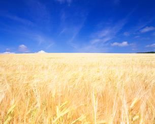 麦畑(二条大麦)の写真素材 [FYI01523308]