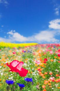 花畑に咲くポピーの写真素材 [FYI01523342]