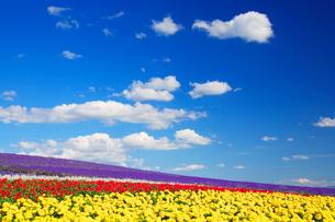 マリーゴールドとサルビアとラベンダーの花畑の写真素材 [FYI01523389]