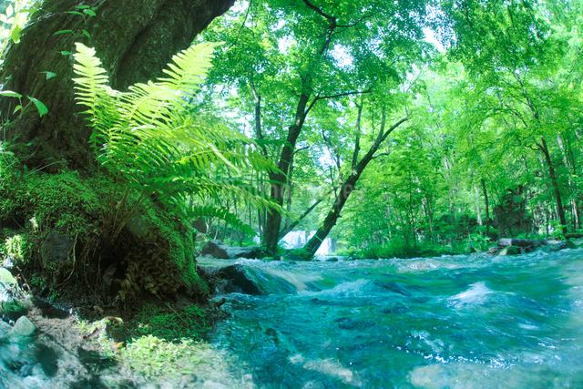 エゾイタヤの大木と清流の写真素材 [FYI01523394]