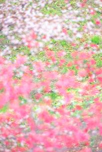 さくら湖の桜の写真素材 [FYI01523436]