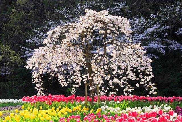 チューリップ畑と桜木立の写真素材 [FYI01523439]