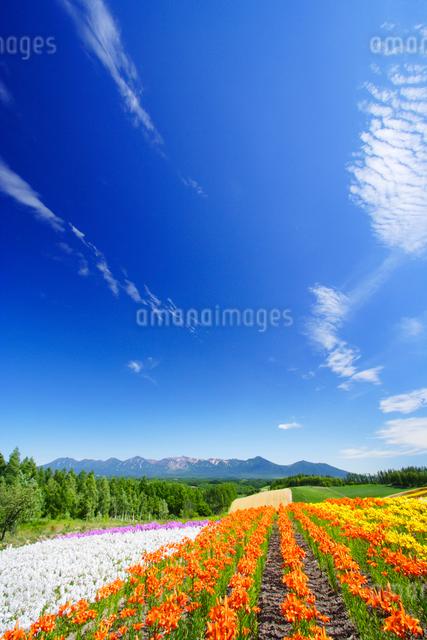 デイリリーの花畑と十勝連峰の写真素材 [FYI01523455]