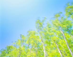 風に揺れるブナの写真素材 [FYI01523460]
